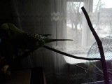 Володарский попугай)))))по прозвищу Какаду)))